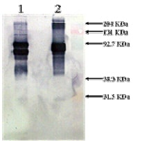 Western blot - Native Human Vitronectin/S-Protein (Biotin) (ab92639)