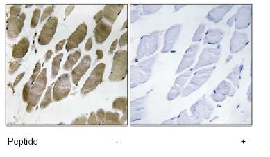 Immunohistochemistry (Formalin/PFA-fixed paraffin-embedded sections) - Anti-NMU antibody (ab92693)