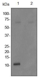 Western blot - Anti-Phospholamban (phospho S16) antibody [EPR1911] (ab92697)