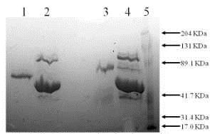 SDS-PAGE - Recombinant mouse Tissue Plasminogen Activator protein (ab92715)