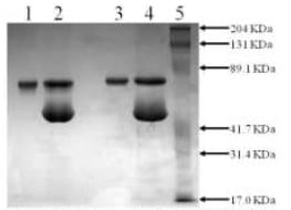 SDS-PAGE - Recombinant Mouse Tissue Plasminogen Activator (mutated S481A) protein (ab92723)