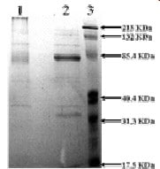 SDS-PAGE - Native Mouse Vitronectin/S-Protein (ab92727)