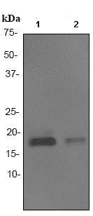 Western blot - Anti-Glycoprotein hormones (alpha 5) antibody [EP3373] (ab92738)