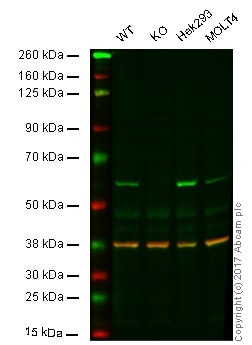 Western blot - Anti-FTO antibody [5-2H10] (ab92821)