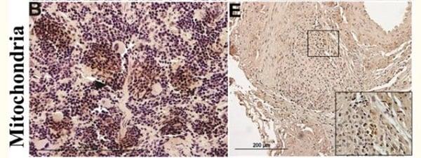 Immunohistochemistry (Formalin/PFA-fixed paraffin-embedded sections) - Anti-Mitochondria antibody [113-1] (ab92824)