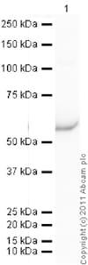 Western blot - Recombinant Human GRO gamma protein (ab92858)