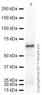 Western blot - Recombinant Human ERp57 protein (ab92937)