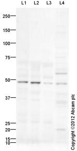 Western blot - Anti-EDG6/S1PR4 antibody (ab92993)