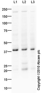 Western blot - Anti-DKK1 antibody (ab93017)