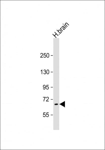 Western blot - Anti-PRODH antibody (ab93210)