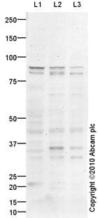 Western blot - Anti-Semaphorin 3A antibody (ab93255)