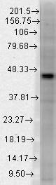 Western blot - Anti-Dnmt3L antibody [N117/9] (ab93613)