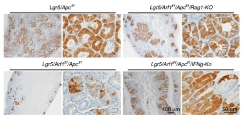 免疫组织化学(福尔马林/PFA固定石蜡包埋切片)-抗原回收缓冲液(100倍柠檬酸缓冲液)(ab93678)
