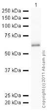 Western blot - Recombinant Human Lipoamide Dehydrogenase protein (ab93679)