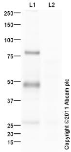 Western blot - Anti-IRF8 antibody (ab93718)