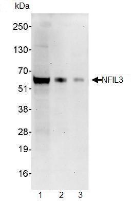 Western blot - Anti-NFIL3 antibody (ab93785)