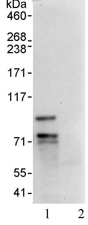 Immunoprecipitation - Anti-FOXP1 antibody (ab93807)