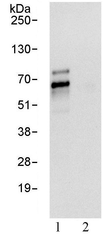Immunoprecipitation - Anti-TFE3 antibody (ab93808)