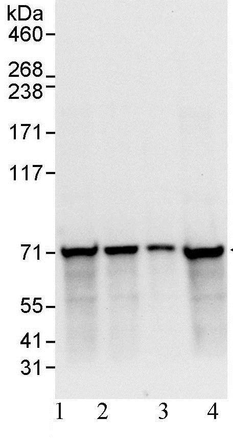 Western blot - Anti-Ku70 antibody (ab93809)