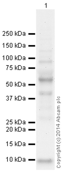 Western blot - Anti-SLURP1 antibody (ab93840)