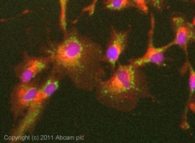 Immunocytochemistry/ Immunofluorescence - Anti-IDH2 antibody (ab94359)