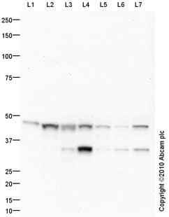 Western blot - Anti-IDH2 antibody (ab94359)