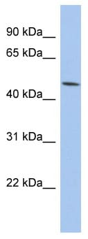 Western blot - Anti-PTGER3 antibody (ab94496)