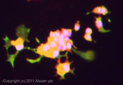 Immunocytochemistry/ Immunofluorescence - Anti-LRP15 antibody (ab94504)