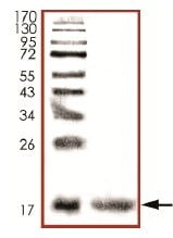 SDS-PAGE - Recombinant Human Calmodulin 1/2/3 protein (ab94519)