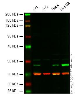 Western blot - Anti-IDH1 antibody (ab94571)