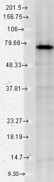 Western blot - Anti-Grp75/MOT antibody [N52A/42] (ab94668)
