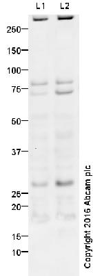 Western blot - Anti-EMX2 antibody (ab94713)
