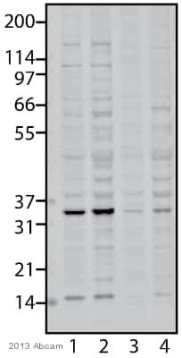 Western blot - Anti-PYCR1 antibody (ab94780)