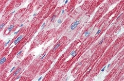 Immunohistochemistry (Formalin/PFA-fixed paraffin-embedded sections) - Anti-TEF1 antibody (ab95029)