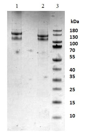SDS-PAGE - Native Integrin alpha 2b + beta 3 protein (Activation site) (ab95130)
