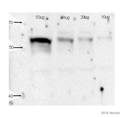 Western blot - Anti-Angiopoietin 1 antibody (ab95230)