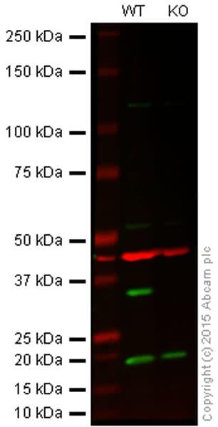 Western blot - Anti-Cdk4 antibody (ab95255)