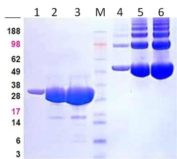 SDS-PAGE - Recombinant human PAK2 protein (ab95310)