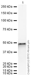 Western blot - Recombinant Human FEN1 protein (ab95382)