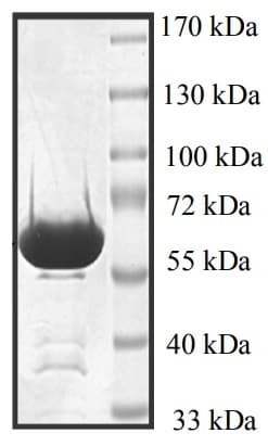 SDS-PAGE - Recombinant Human p38 protein (ab95445)