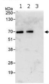 Immunoprecipitation - Anti-KLC1 antibody (ab95882)