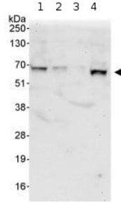 Western blot - Anti-KLC1 antibody (ab95882)