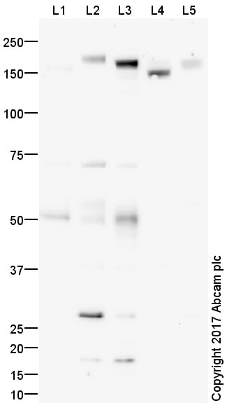 Western blot - Anti-MERTK antibody (ab95925)