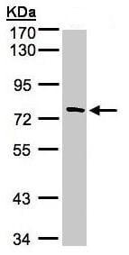 Western blot - Anti-FLJ13946 antibody (ab95941)