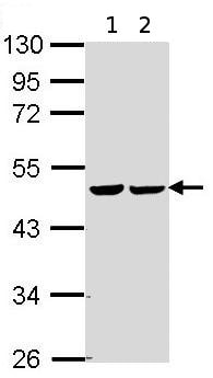 Western blot - Anti-FH/Fumarase antibody (ab95950)