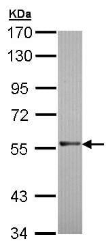 Western blot - Anti-RAG2 antibody (ab95955)