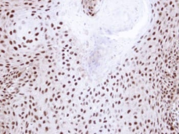 Immunohistochemistry (Formalin/PFA-fixed paraffin-embedded sections) - Anti-NHP2L1 antibody (ab95958)