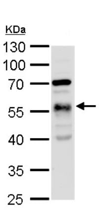 Western blot - Anti-TUBA1A antibody (ab95966)