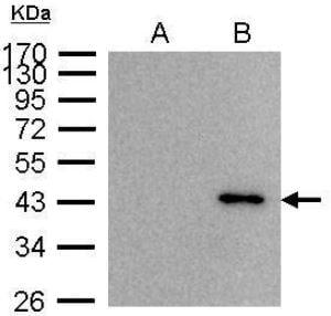 Immunoprecipitation - Anti-BRCC45/BRE antibody (ab95984)