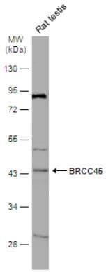 Western blot - Anti-BRCC45/BRE antibody (ab95984)